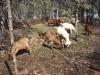 goats-booger-95